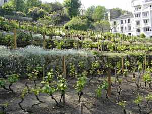 Montmartre Vineyard, Paris