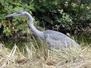 Heron in the Bois de Boulogne, Paris