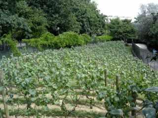 Vineyard, Parc de Belleville, Paris