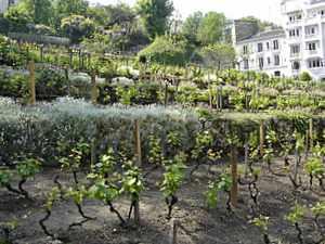 Montmartre Vineyard, Paris